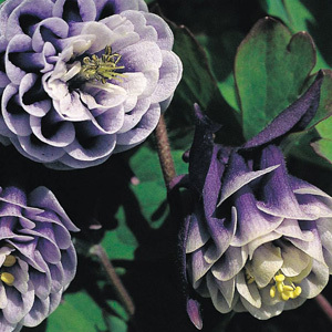 Aquilegia 'William Guiness Doubles' Seeds
