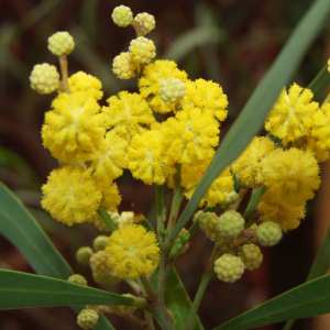 Acacia Retinodes 'Swamp Wattle' Seeds