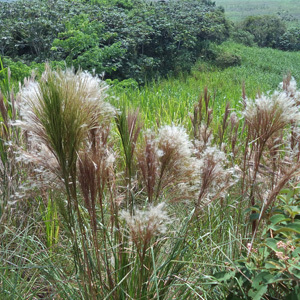 West Indian Foxtail Grass Seeds Andropogon bicornis