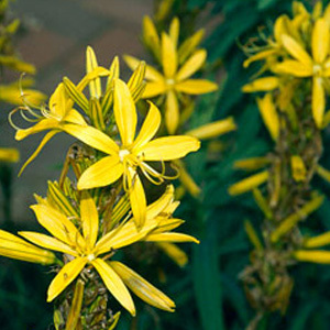 Asphodeline 'Yellow Candle' Seeds