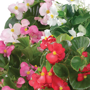 Begonia 'Emperor Mixed' Pelleted Seeds