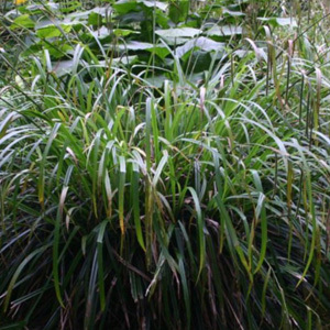 Carex Pendula 'Weeping Sedge' Seeds