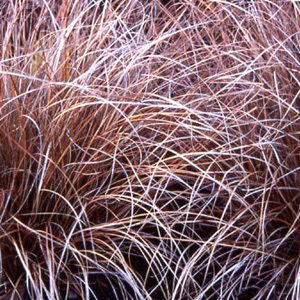 Carex 'Coman's Bronze' Seeds