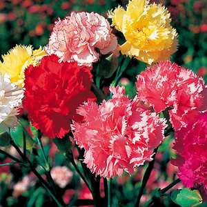 Carnation Superb Formula Mix Seeds
