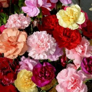 Carnation Dwarf Fragrance Mixed Seeds