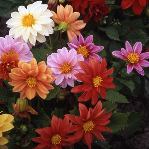 Dahlia Early Bird Mixed Seeds