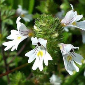 Eyebright Annual Seeds