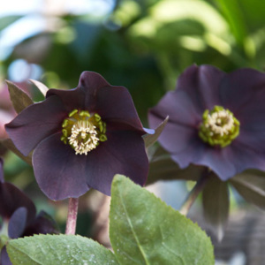 Helleborus 'Black Beauty' Seeds