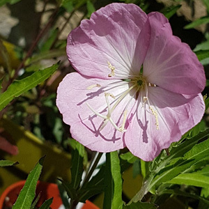 Oenothera Copper Canyon Seeds