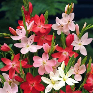 Schizostylis Mixed Colours Seeds