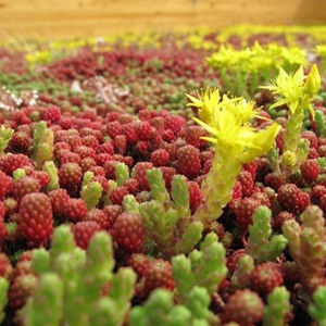Sedum Mixed Seeds