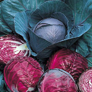 Cabbage 'Red Drumhead' Seeds
