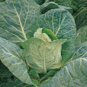 Cabbage 'Durham Early' Seeds