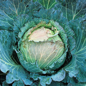Cabbage 'January King' Seeds