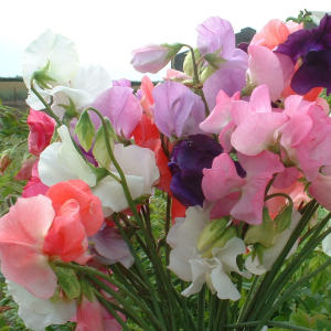 Sweet Pea 'Mammoth Mixed' Seeds