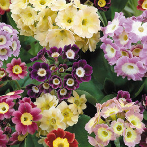 Primula Auricula Mixed Seeds