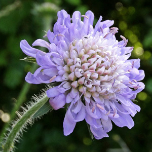 Field Scabious Perennial Seeds