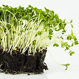Cress Plain or Common Seeds