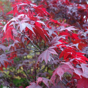 Acer Palmatum 'Japanese Maple' Red Emperor Maple Seeds