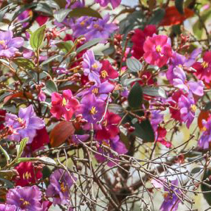 Tibouchina lepidota  Andean Princess Flower, Glory Bush Flower' Seeds