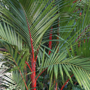 Sealing Wax Palm, Lipstick Palm Cyrtostachys renda  Seeds