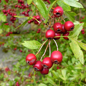 Hawthorn Bush Crataegus ssp. Mix Seeds