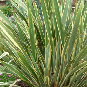 Variegated New Zealand Flax  Phormium Tenax Variegatum Seeds