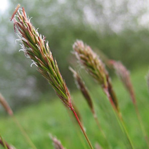 Sweet Vernal Grass Seed