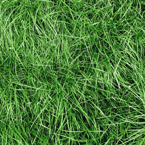 Chewings Fescue Grass Seed