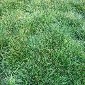 Sheep's Fescue Grass Seed