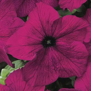 Petunia Velvet Mixed Pelleted Seeds