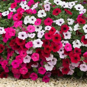 Petunia Tidal Wave Mixed Pelleted Seeds