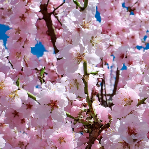 Japanese Sakura 'Cherry Blossom' Tree Seeds