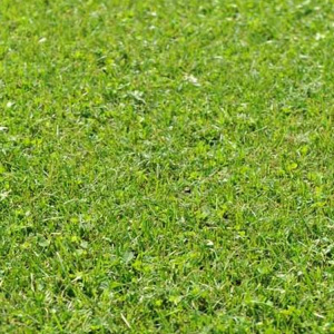 Hard Wearing Micro Clover Lawn Grass Seed