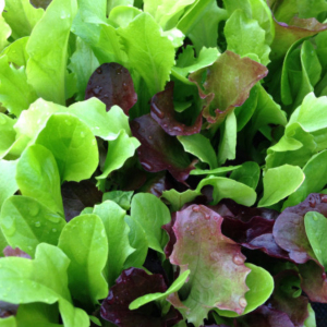 Lettuce Mixed Salad Baby Leaf Seeds