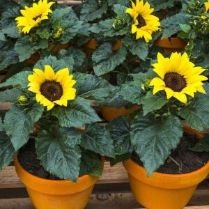 Miniature Sunflower Helianthus Annuus Incredible Seeds