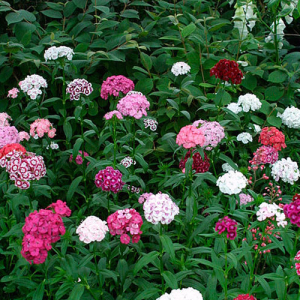 Sweet William Tall Single Mix Seeds