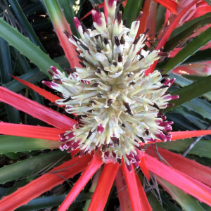 Wild Pineapple Bromelia Pinguin Seeds