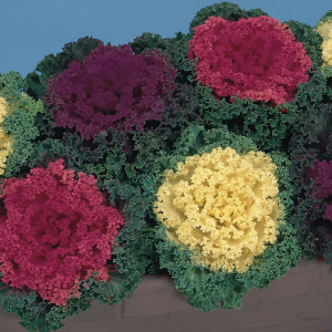 Ornamental Cabbage Kale Seeds Nagoya Mixed F1