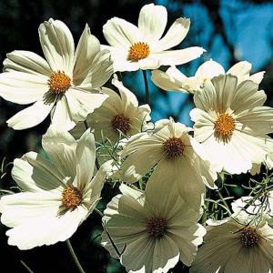 Cosmos Bipinnatus 'Purity' Seeds