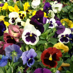 Pansy Swiss Giants Mixed Viola Wittrockiana Seeds Perennial