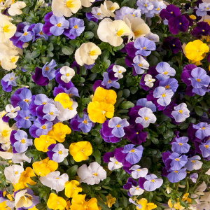 Pansy Cool Wave Mixed Viola Wittrockiana Seeds
