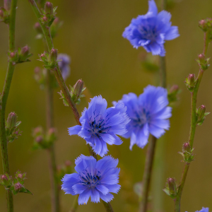 Common Chicory Cichorium Intybus Perennial Seeds