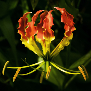 Gloriosa Superba Fire Lily Seeds