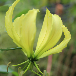 Gloriosa Superba Yellow Flame Lily Seeds