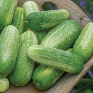 Gherkin Picklebush Cucumis Sativus Seeds Ideal for containers Patio small spaces