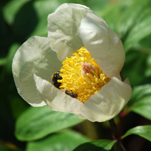 Paeonia Mlokosewitschii Molly the Witch Seeds Hardy Perennial
