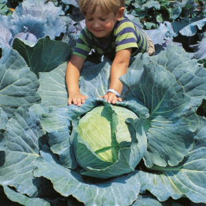 Cabbage Brunswick Brassica Oleracea Seeds Very Large cabbage